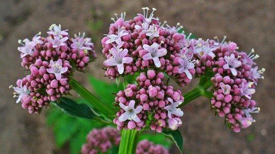 As 20 melhores ervas curativas (efeitos e benefícios para a saúde) 1