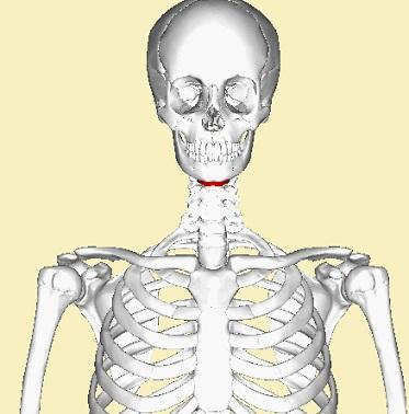 Osso hióide: funções, doenças e possíveis fraturas 2