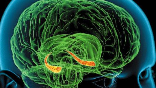 Hipocampo: funções e estrutura do órgão de memória 1