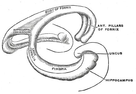 Hipocampo: funções, anatomia e patologias (com imagens) 7
