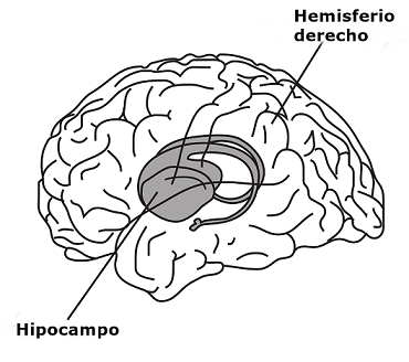 Hipocampo: funções, anatomia e patologias (com imagens) 3