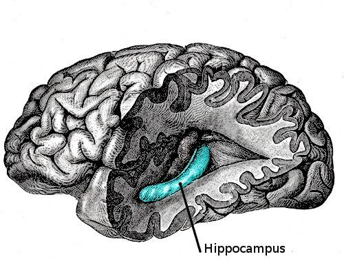 Hemisférios cerebrais: diferenças, funções e partes 2
