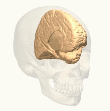 Hemisfério cerebral esquerdo: funções, características 4