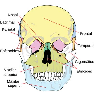 Ossos do rosto: recursos e descrição