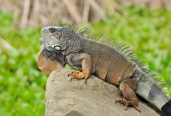 Iguana: características, espécies, habitat, reprodução 1