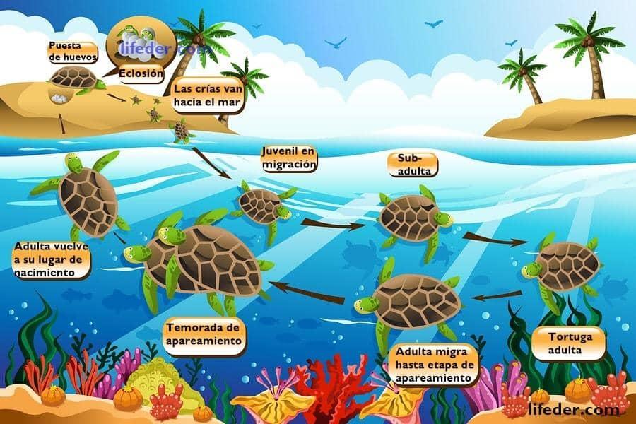 Ciclo de vida da tartaruga marinha para crianças (com imagem) 1
