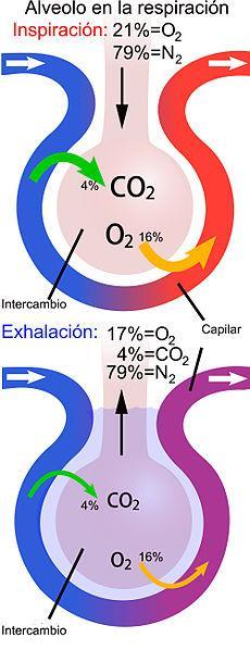Sistema respiratório: funções, partes, funcionamento 7
