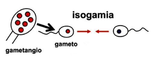 Isogamia: características e tipos 1