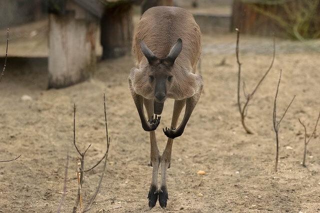Canguru: características, habitat, reprodução, alimentação 3