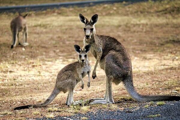 Canguru: características, habitat, reprodução, alimentação 1