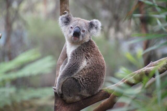 Coala: características, habitat, reprodução, comida 2
