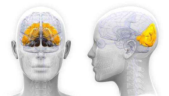 Lobo occipital: anatomia, funções e lesões 1