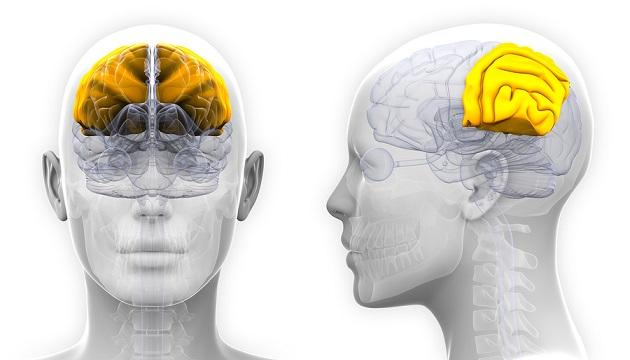 Sistema nervoso central: partes e funções (com imagens) 11