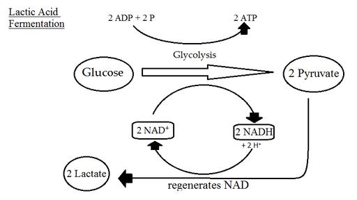 Glicólise anaeróbica: reações e vias fermentativas 2