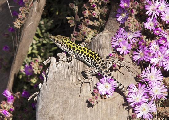 Como os lagartos se defendem? 1