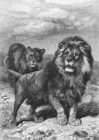 Leão do Cabo: características, localização, dieta, morfologia 1