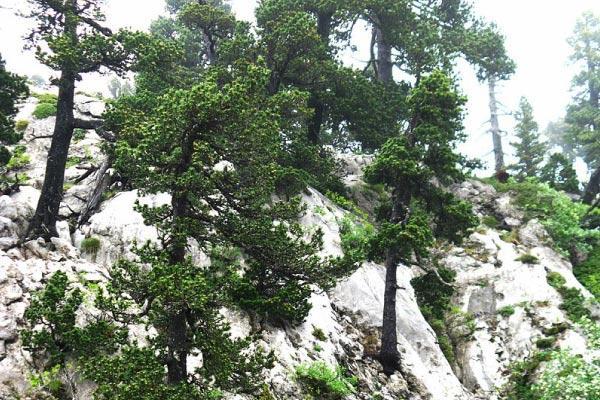 Pinus uncinata: características, habitat, nutrição 1