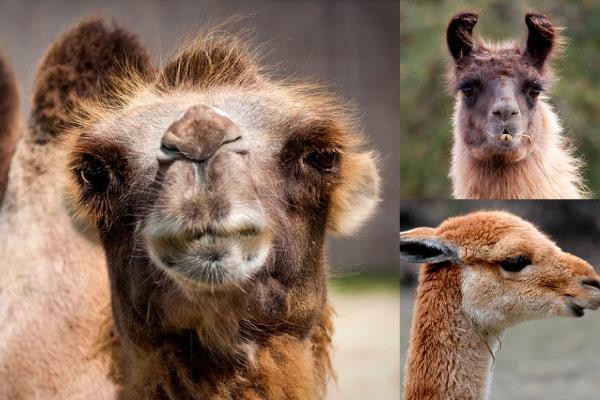 Camelídeos: características, taxonomia, habitat, comida 2