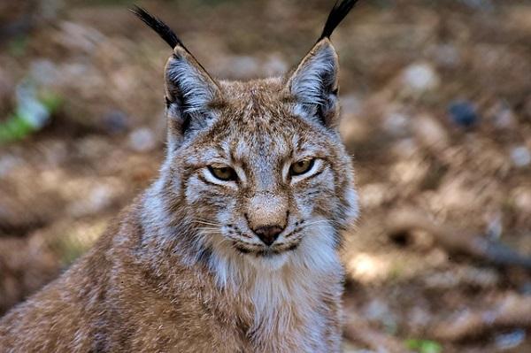 Lince: características, habitat, reprodução, alimentação 1
