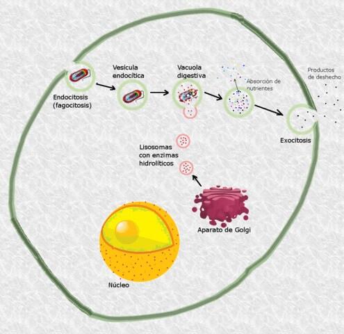 Célula animal: características, partes e funções, tipos 5