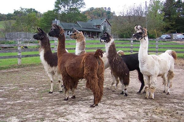 Lama: características, habitat, comida 1
