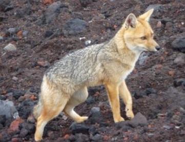 Wasteland Wolf: características, dieta, reprodução 1