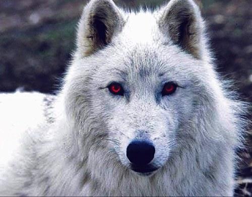 Lobo lobo: situação, nomes, eles existem na realidade? 1