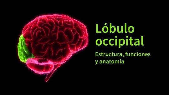 Lobo occipital: anatomia, características e funções 1