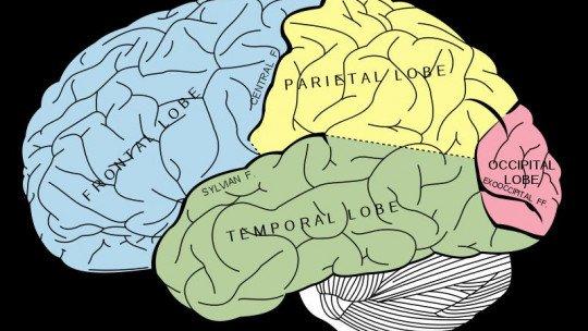 Os lobos do cérebro e suas diferentes funções 1