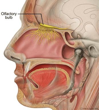 Bulbo olfativo: estrutura, anatomia e funções 2