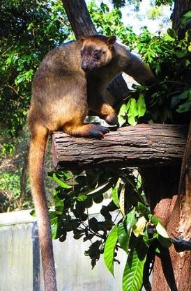 Canguru: características, habitat, reprodução, alimentação 7
