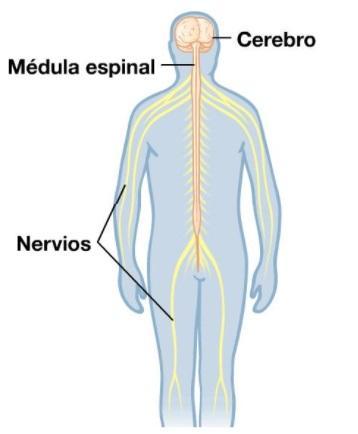 Dor: fisiologia, processos cerebrais e receptores 3