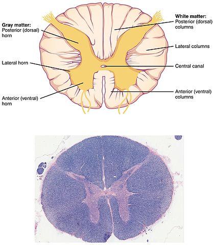 Medula Espinhal: Peças, Funções e Anatomia (com imagens) 9