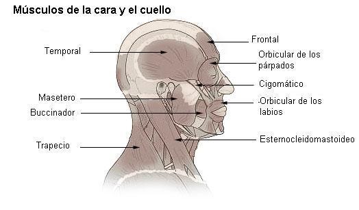 Pescoço humano: anatomia 1