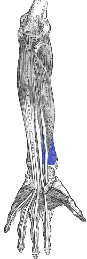Músculos do pronador: tipos e síndromes associados 15