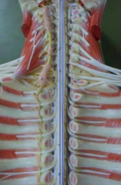 Medula Espinhal: Peças, Funções e Anatomia (com imagens) 6