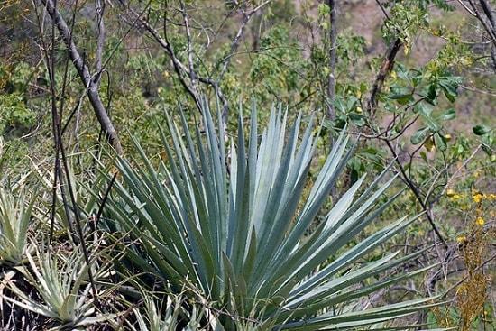 Esfoliação Xerófila: características, distribuição, flora e fauna 4