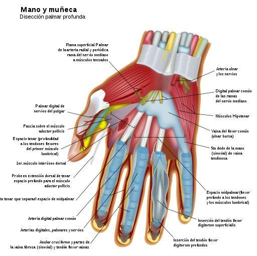 Sensação de toque: partes, como funciona e funciona 3
