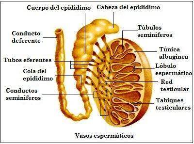 Túbulos seminíferos: funções, estrutura e tipos