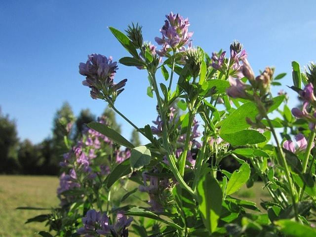Leguminosas (Fabaceae): características, habitat, cultivo, usos 7