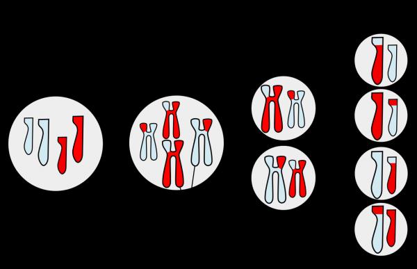 O que é permutação cromossômica? 1