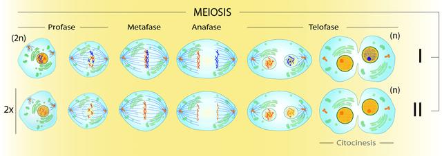 Meiose: Fases e Características 1