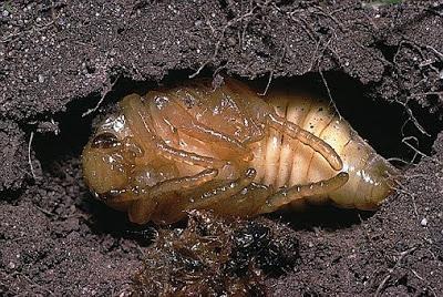 Besouros: características, alimentação, reprodução 11