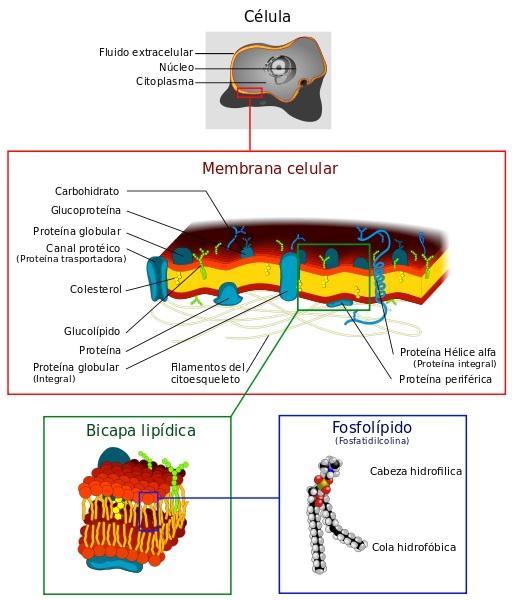 Membrana Plasma: Características, Funções e Estrutura 2