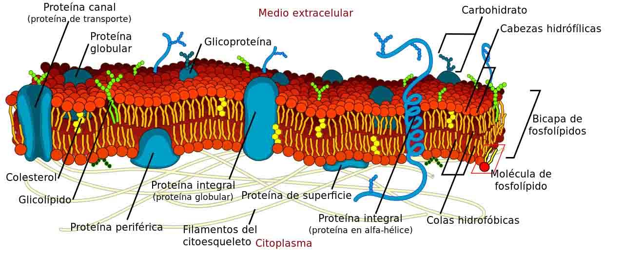 Organelas celulares em células animais e vegetais: características, funções 3