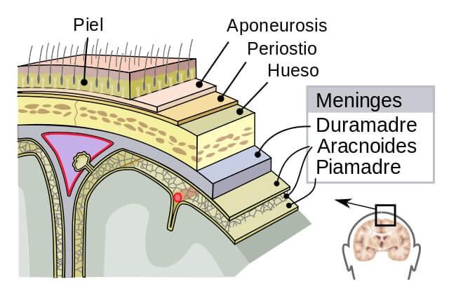Meninges cerebrais: camadas e espaços (com imagens) 4