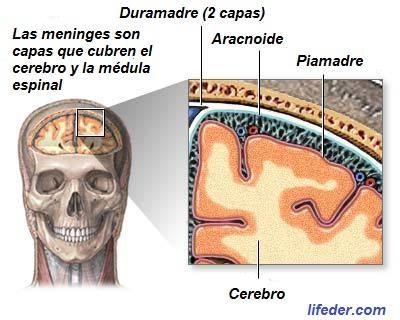Meninges cerebrais: camadas e espaços (com imagens) 2