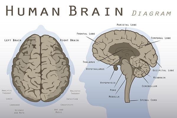 Midbrain: características, funções e peças 1