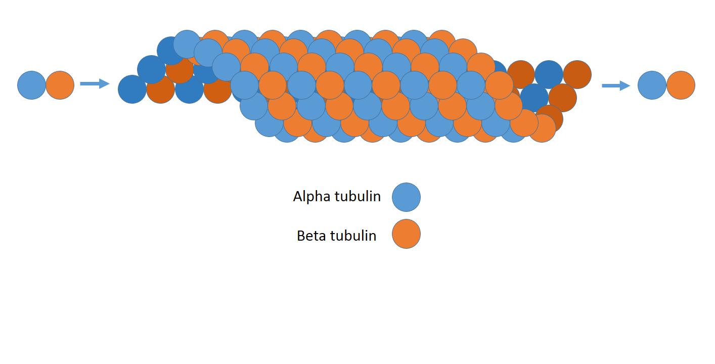 Microtúbulos: Estrutura, Funções e Importância Clínica 1
