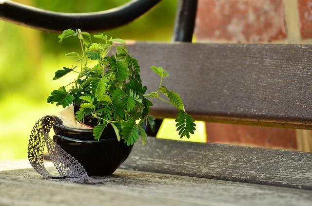 Mimosa pudica: características, habitat, propriedades, cultivo 6